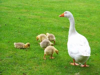 От яйца и до большого гуся: секреты по уходу за гусятами