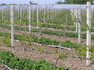 Тонкости правильного выращивания винограда